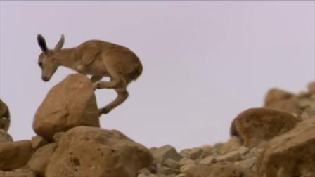 岩羊被狼群逼入绝境,纵身一跃落入万丈深渊,结局让人佩服!