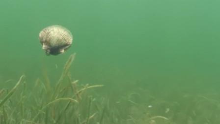 """扇贝被潜水员发现,撒腿就跑,这姿势简直不要太""""优美"""""""