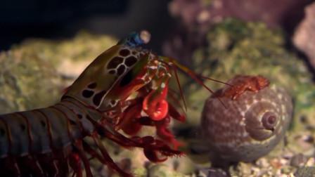 养这种观赏虾得注意了,请务必使用防弹玻璃,钢化玻璃都不顶用