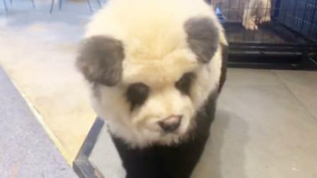 国宝风?宠物店推新业务 将狗染色成熊猫收费1500