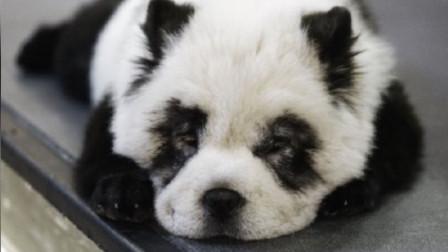 """养国宝?成都一宠物咖啡馆开设业务 可将爱犬染色成""""熊猫狗"""""""