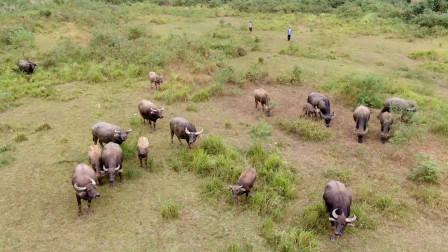 农村的老人闲不住,70岁了还到山里放牛,你猜他们1年能赚多少?