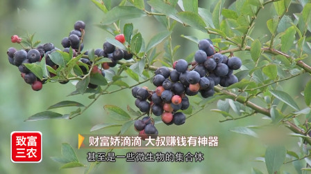 蓝莓的果粉重要吗?看种植户给你正确讲解,果粉对价格影响很大