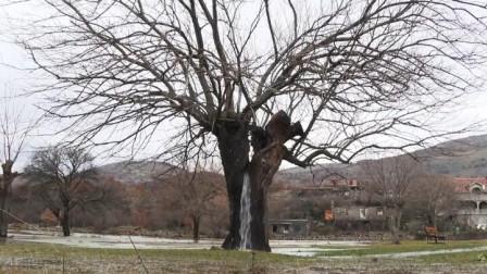 这种树能源源不断的流出水,几百年也不会干枯,专家都无法解释