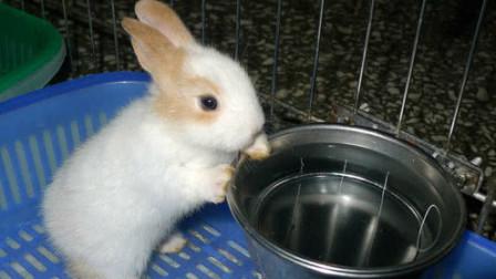 为什么兔子一喝水,就会立马断肠而亡?看完涨知识了