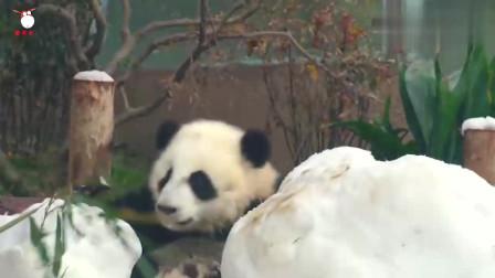 女孩不慎掉进熊猫园,三只熊猫看见后,各种动作笑翻众人!