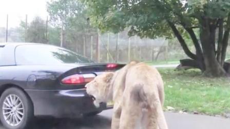 狮子一口咬住汽车尾部,司机一脚踩油门下去,意外的事情发生了