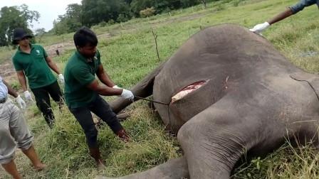 为啥大象死后不能碰?国外男子不信邪,结果悲剧发生了