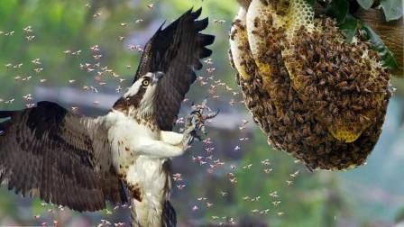 一窝马蜂都不敢招惹它,只能让它吃个够!镜头记录全过程