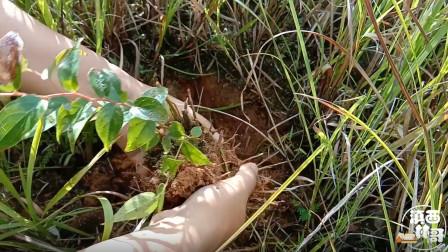 农村山里稀有植物,果实可食用,浑身是宝,你知道叫什么名字吗