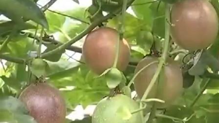 百香果八分熟的时候就可以采摘了,像香蕉一样,有一个后熟的过程