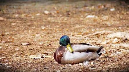 一只野鸭趴在地上2秒后突然死亡慢放20倍找到罪魁凶手
