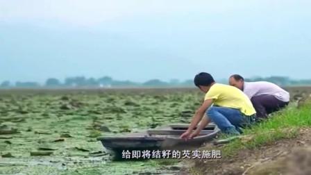 舌尖上的中国:这种浑身长刺的植物是小零食,瓦片上烘焙香脆可口!