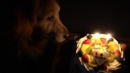 金毛今天过生日,它已经11岁了,主人还给它买了生日蛋糕
