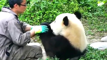 熊猫:杨奶爸给蔓越煤看手相:只要天天卖萌,包你衣食无忧