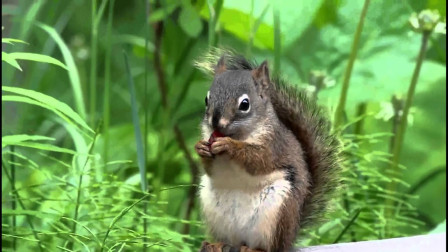松鼠贪吃果子没停住,下一秒憋住别笑啊!估计连树都爬不上去了