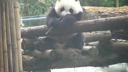 熊猫:刚恰完下午茶,用小竹签剔剔牙