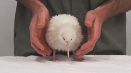 世界上最为神奇的鸟类,天生没有翅膀,无翼鸟类的最后一员