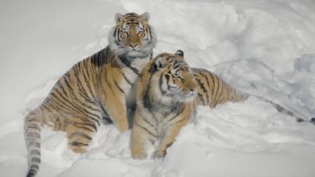 老虎见了猫会是什么反应呢?看完涨见识了