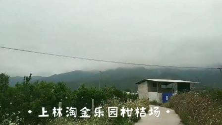 广西上林 淘金乐园 几百亩柑桔枝头挂满果子
