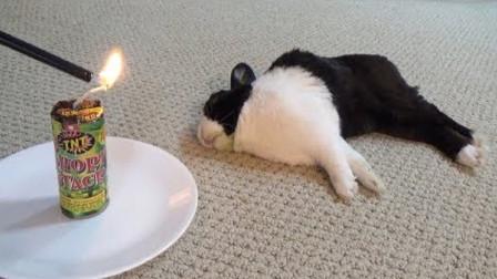 在兔子面前点燃一个大鞭炮,它会怎样?镜头拍下搞笑一幕