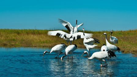 中国的国鸟是什么,哪些品种成了候选国鸟呢?今天算长见识了