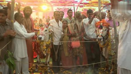 印度人真奇葩!为两头牛举办婚礼,婚礼花费1万8,真奢侈
