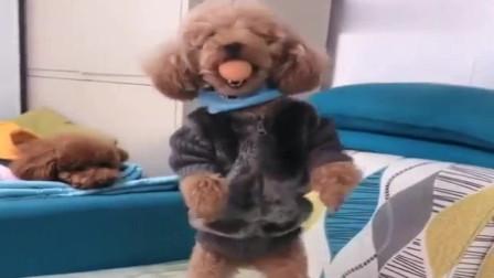 萌宠:贪玩的泰迪,穿个貂,不知道怎么显摆了
