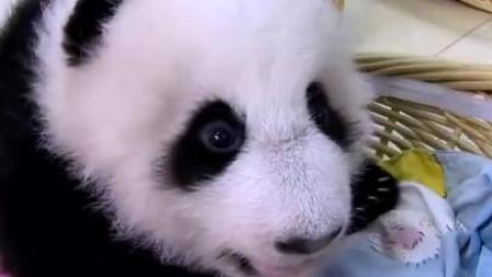 中国大熊猫救活英国倒闭动物园,年入一个亿!