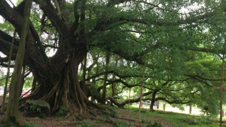 最孤独的大榕树,一棵树长成整片森林,可容千人乘凉
