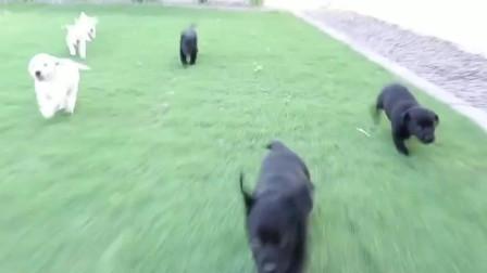 最完美的配色!拉布拉多犬黑白配色的小奶狗,太可爱了