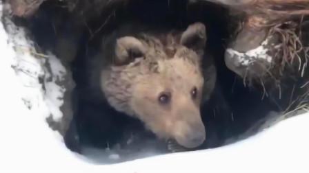棕熊被冻的瑟瑟发抖,还好及时送来稻草,镜头拍下过程!