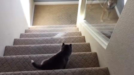 小哈士奇独特的下楼梯方式,果然是二哈!大哈:亲生的!
