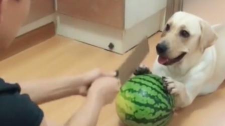 主人切瓜让狗狗扶着,谁知动作太慢被嫌弃,给狗子急的不行