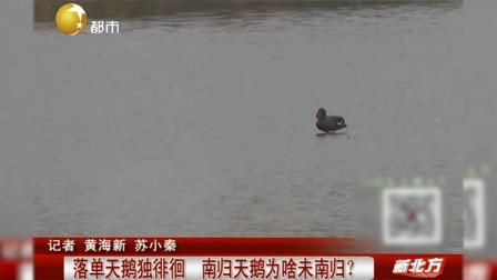 哪里来的黑天鹅,中国本土没这个品种啊,难道是从哪跑出来的