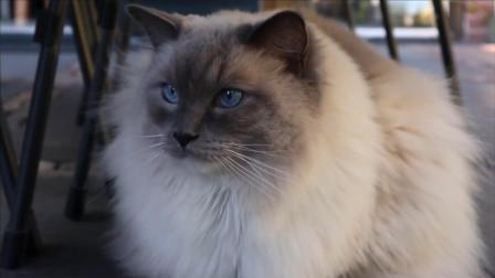 布偶猫的日常,在院子里散步突然碰到小伙伴,嗨皮时刻瞬间来临