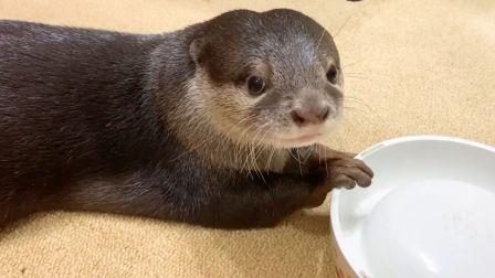 小水獭可怜兮兮的要爸爸为它添饭