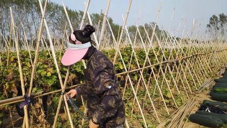 农村大姐种植黑皮冬瓜,亩产15000斤,这下发财了