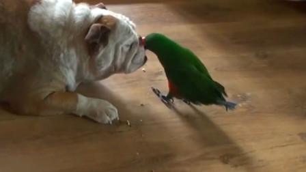 鹦鹉爱上了狗狗,每天都喂它吃东西,让狗子一年胖了12公斤