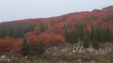 章丘虎山红叶