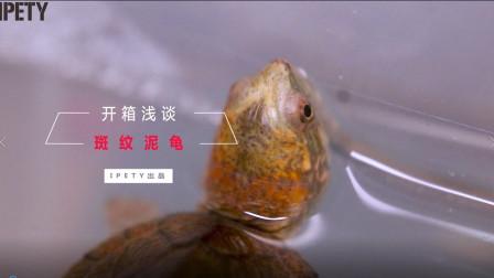 【IPETY|奶茶开箱】斑纹蛋龟开箱浅谈