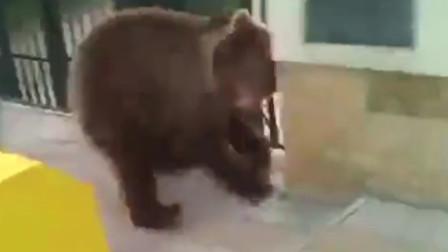 出逃棕熊被男子一脚踢到墙上,战斗民族名不虚传,熊当宠物养!