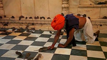 印度有座老鼠庙,朝拜者络绎不绝,称被老鼠咬一口是一种祈福