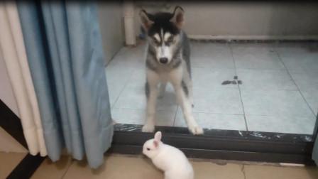 拆家小王子二哈看到小白兔竟然那么怂,场面太搞笑了,兔子真厉害