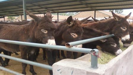 驴肉和驴皮价格那么高,为什么很少人养驴卖呢?今天算长见识了