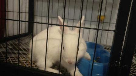 兔子放出笼子后,在房间蹦蹦跳跳的,又活泼又可爱