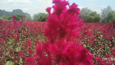 广西上林 三里洋渡花儿红红火火一