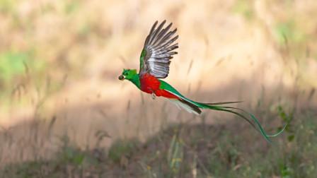 它被称为世上最神秘的鸟,羽毛比黄金还贵,人们只取其毛从不杀生