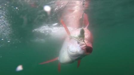 这种鱼属于濒危物种,渔夫一生都很难捕捉一条,在日本是顶级食材