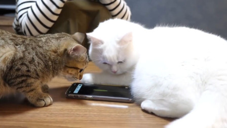 两只小猫玩手机,逐渐喜欢上了这个游戏,太可爱了